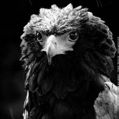Aigle Bateleur